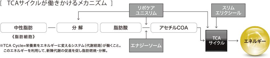 脂肪分解燃焼(TCAサイクル)図解